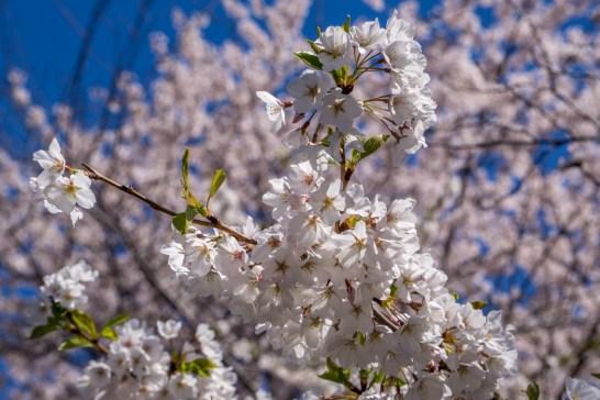 Printemps Boston floraison-4