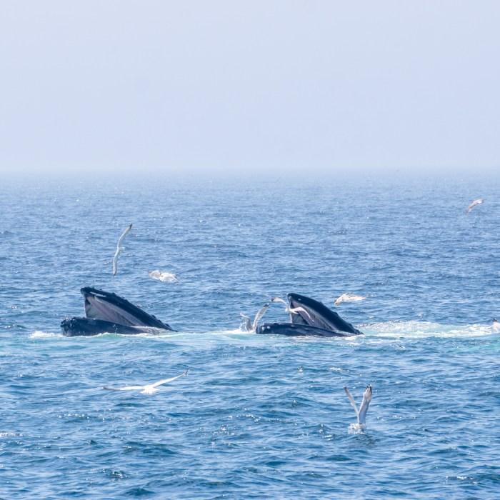 Voir les baleines a Boston-11