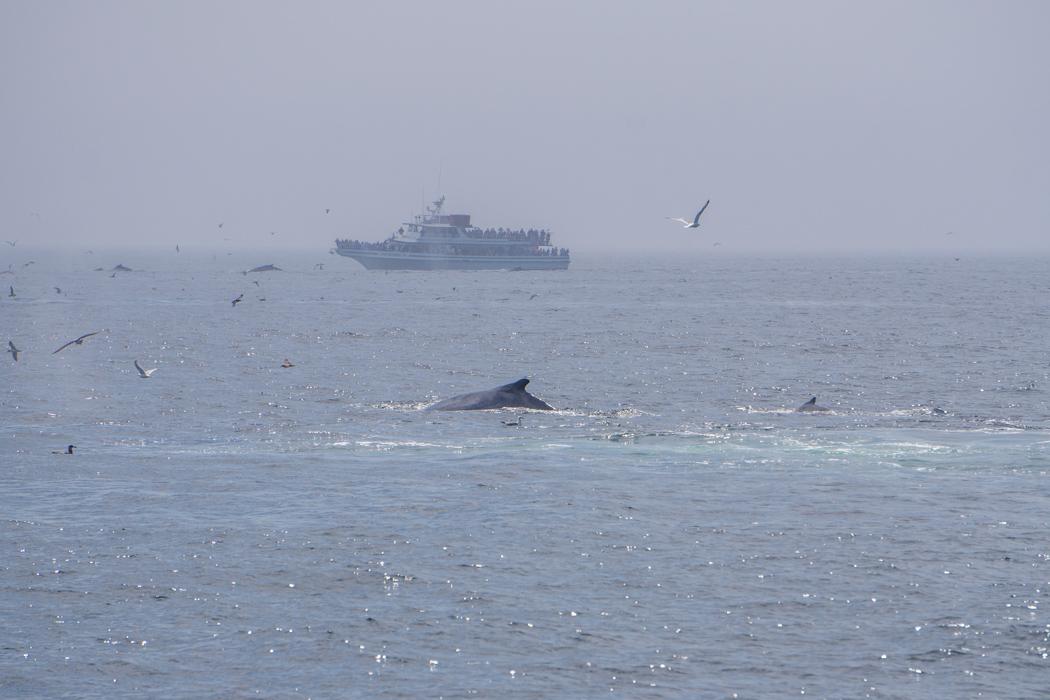 Voir les baleines a Boston-6
