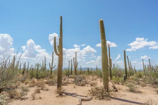 Saguaro Cactus Arizona-17