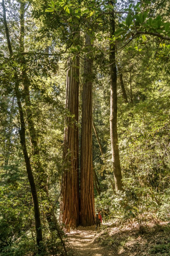 redwood-sequoia-california-9
