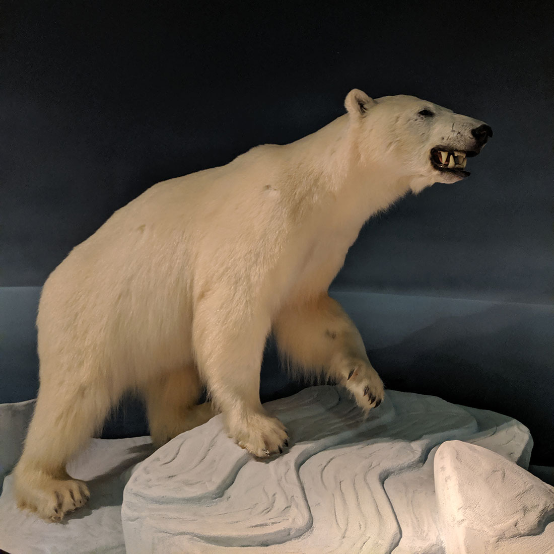 The rooms polar bear