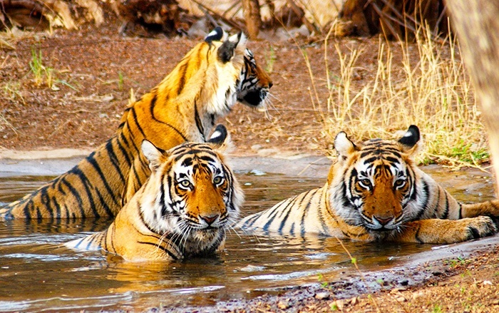 Image result for ranthambore
