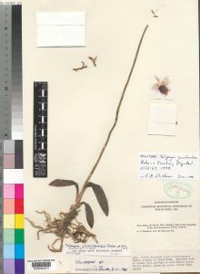 Telipogon jucusbambae in the Kew herbarium