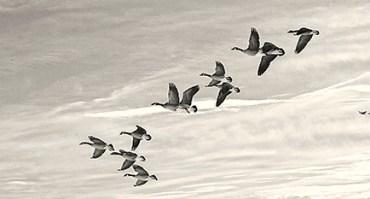 adjustednick-zungoligeese-flight-bw