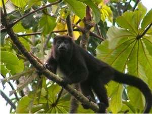 37 Acres in Punta Gorda Belize for Sale Wildlife Monkey