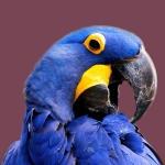 Blue Macaw Bird Parrot Facts about Macaws