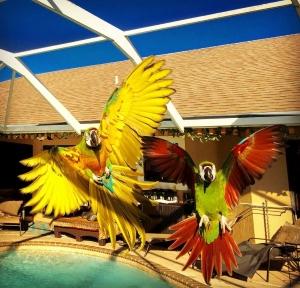Macaw pets Ozzy and Ziggy