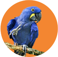 hyacinth macaws pet pets