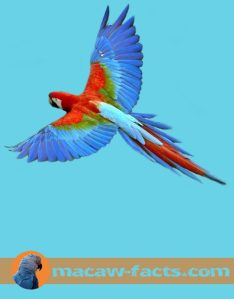 Red Macaw, Scarlet Macaw