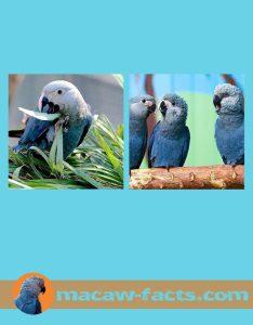 spix-macaw-little-blue-macaw-bird-parrot-futured