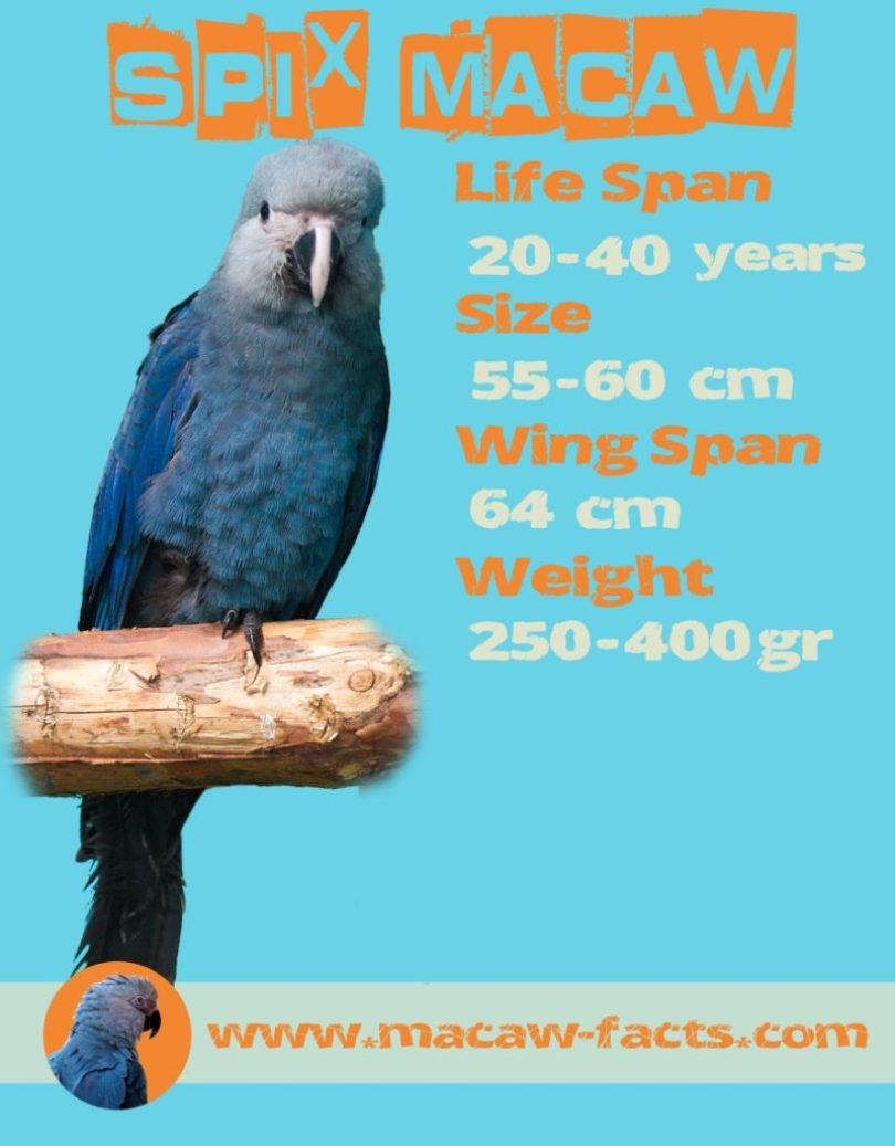 Rabatt günstigen preis genießen Beförderung Spix Macaw, Little blue macaw-fights hard for survival ...