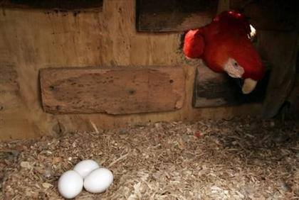 Scarlet Macaw eggs