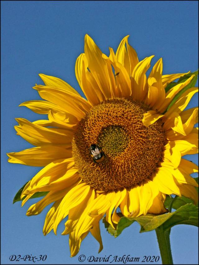 Sunflower and bee. (Digilux 2 1/1,000 sec at f/6.0)