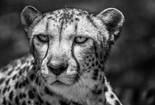 Cheetah at Simbambili in South Africa (Nikon D800 with 300mm f/4)