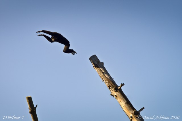 The Leaping Orangutang on Jersey UK (Leica M9 with Leica 135mm f/4 Elmar lens 1/500 sec)