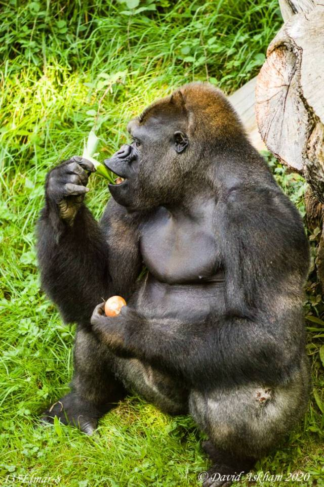 Gorilla snacking on Jersey UK (Leica M9 with Leica 135mm f/4 Elmar lens