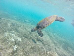 ハワイのハワイ島でのシュノーケリングで野生のウミガメに出会ったときの写真