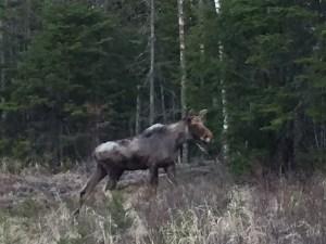 Rangeley Moose