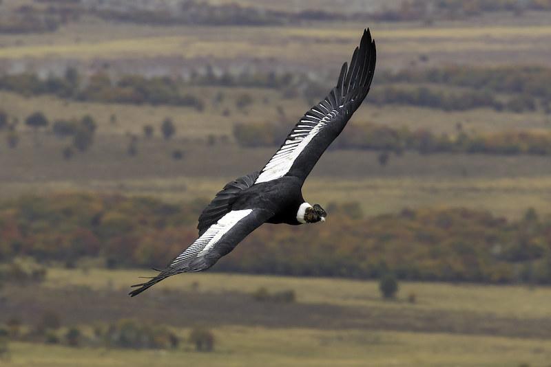 Condor Spotting Tour in Chonta Cusco
