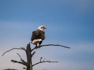 Bald-Eagle---Trout-Lake,-MI---11-4-2013---Web