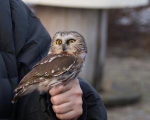 Northern-Saw-whet-Owl---Whitefish-Point,-MI---4-27-2013---Web