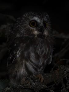 Northern-Saw-whet-Owl-4---St-Ignace,-MI---10-11-2014---Web