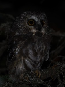 Northern-Saw-whet-Owl-4---St-Ignace,-MI---10-11-2014---Web