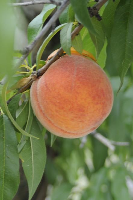 How Fresh Fresh Peaches