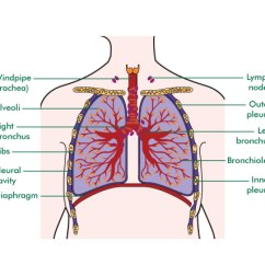 The Lung Anatomy Diagram Label 2004 Sv650 Wiring Of Lungs Pleura 18 15 Kenmo Lp De Images Gallery