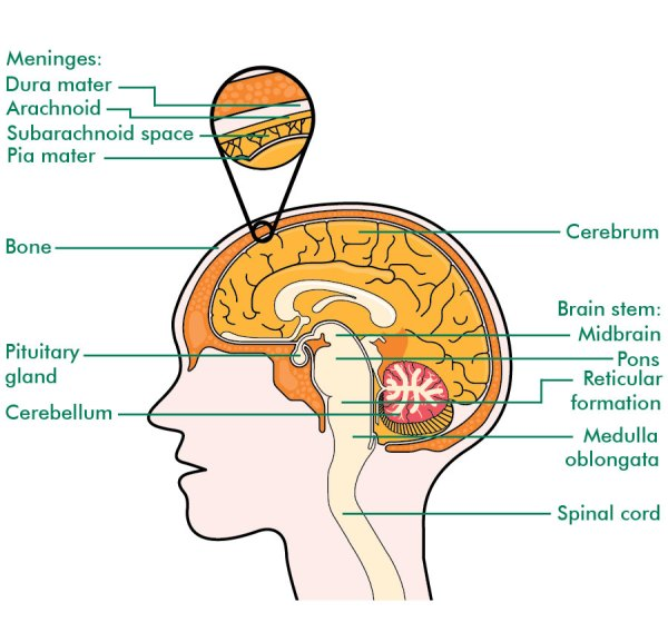 Cross Section Brain Diagram Labeled