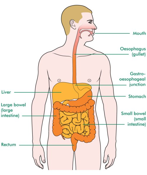 small resolution of the oesophagus and surrounding organs