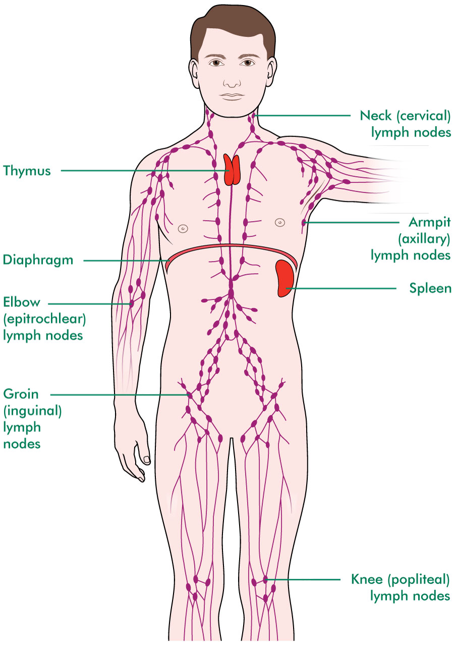 How Many Lymph Nodes Are In The Body | Examples and Forms