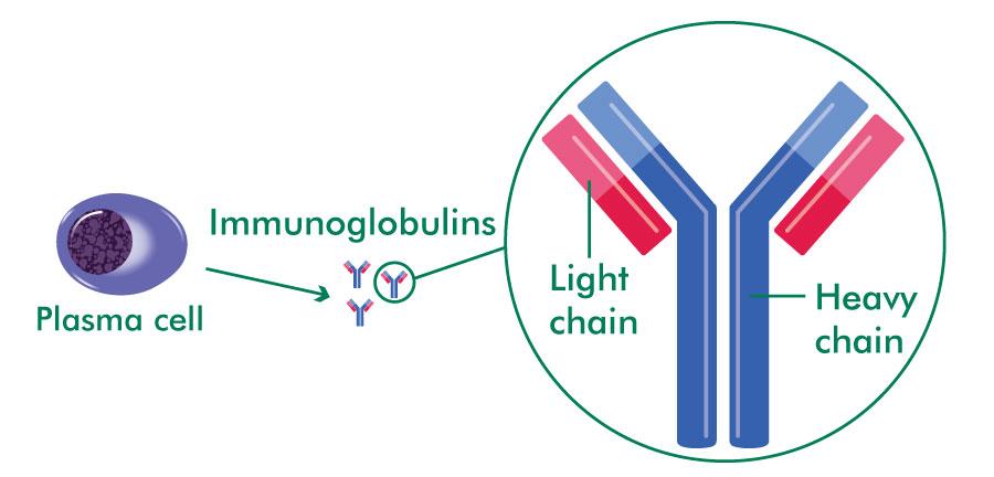 What are immunoglobulins? - Macmillan Cancer Support