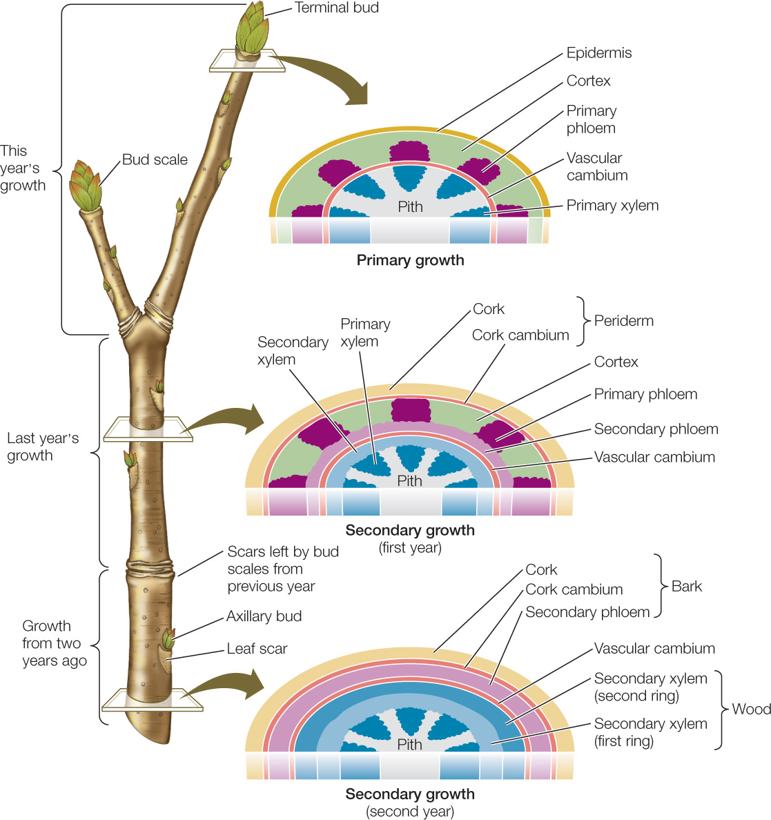 hight resolution of each year the vascular cambium produces a new layer of secondary xylem and a new layer of secondary phloem further increasing the diameter of the stem