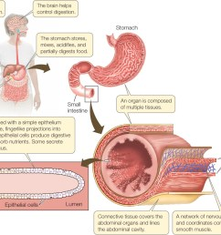 figure 29 14 levels of organization in an animal an organ such as the small intestine of a mammal is composed of multiple types of tissues such as nervous  [ 1326 x 940 Pixel ]