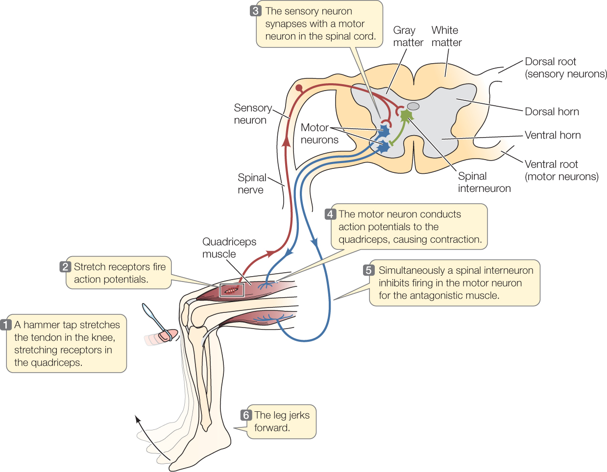Motor Neuron And Sensory Neuron Diagram
