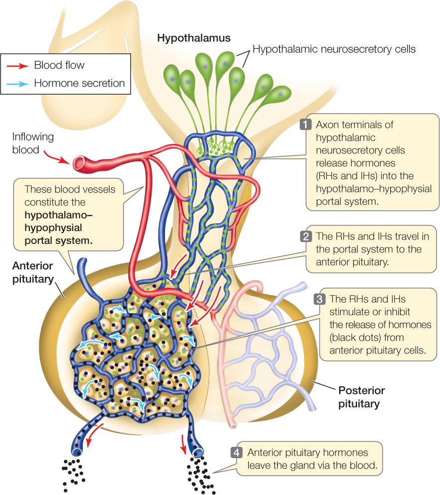 medium resolution of figure 35 7 the anterior pituitary gland cells of the anterior pituitary produce four tropic hormones that control other endocrine glands