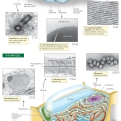 Eukaryotic Endomembrane System Cell Diagram 2003 Saturn Vue Transmission Wiring Hillis2e Ch04 There Can Be One Large Vacuole Or Many Small Ones In A Plant Vacuoles Have Several Functions