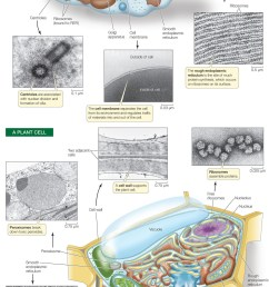 there can be one large vacuole or many small ones in a cell plant vacuoles have several functions  [ 1569 x 3921 Pixel ]