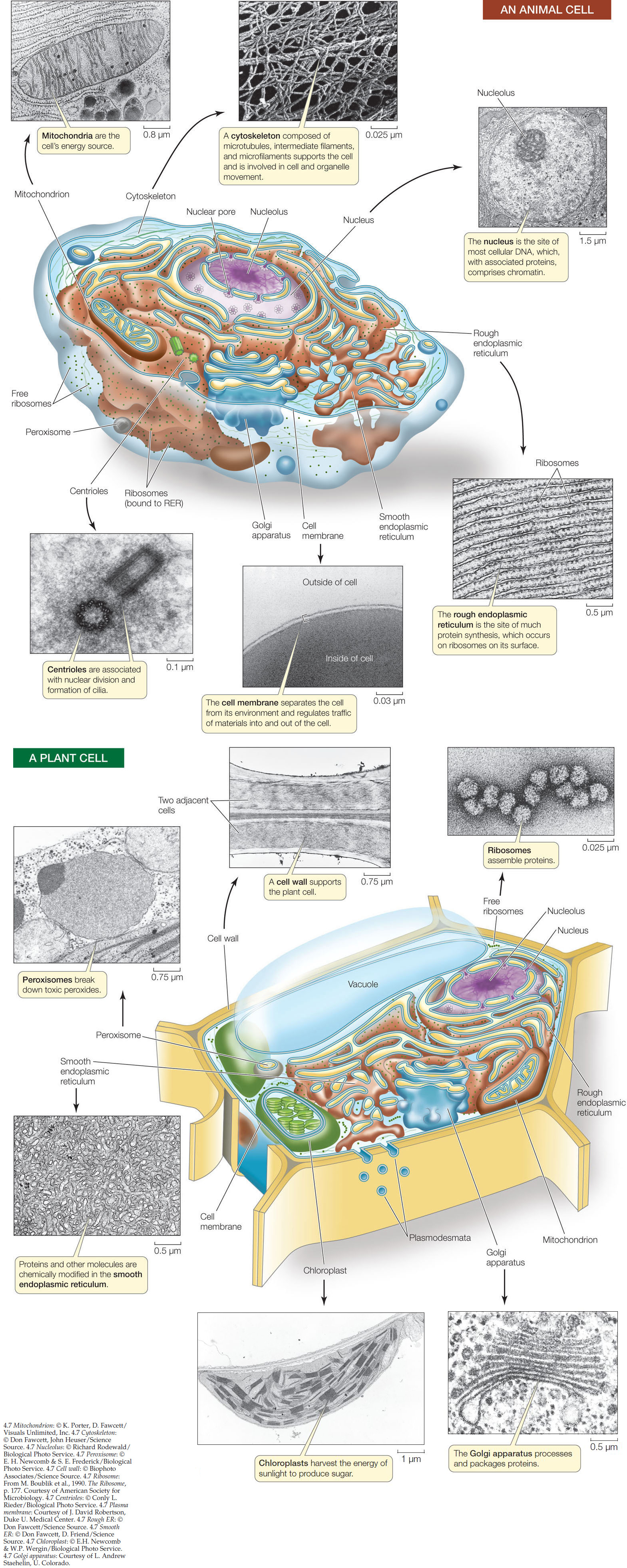 hight resolution of there can be one large vacuole or many small ones in a cell plant vacuoles have several functions