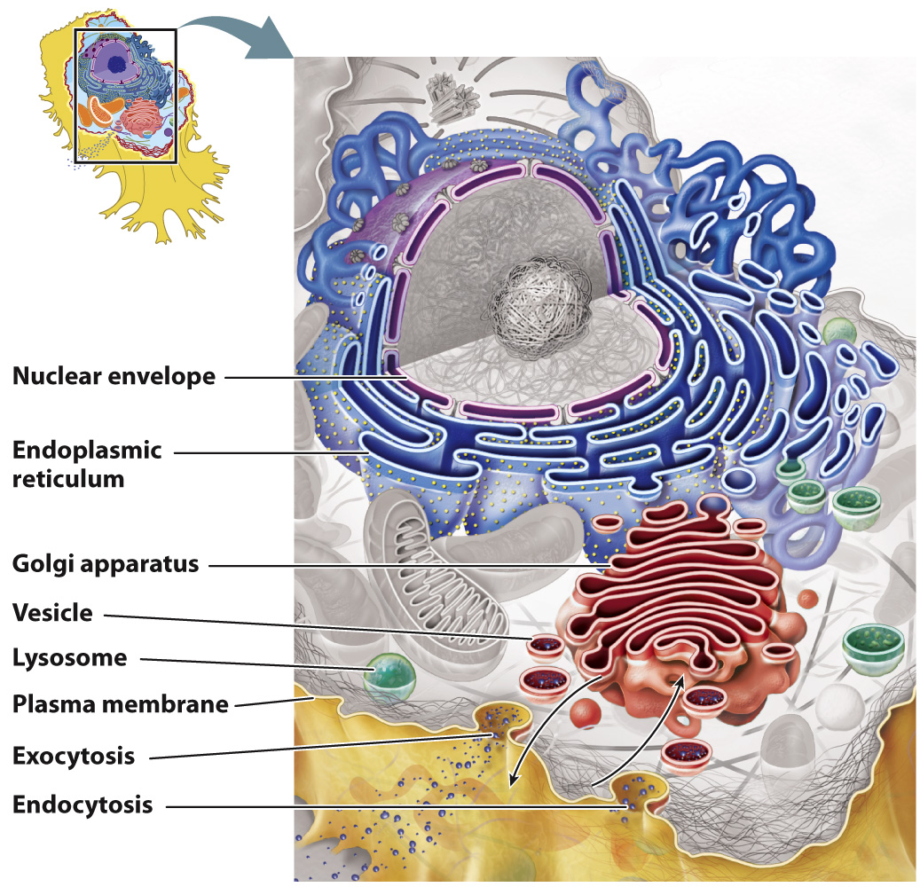 endomembrane system diagram furnace transformer wiring morris2e ch5