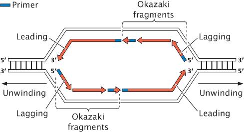 The Diagram Below Represents A Portion Of A Dna Molecule