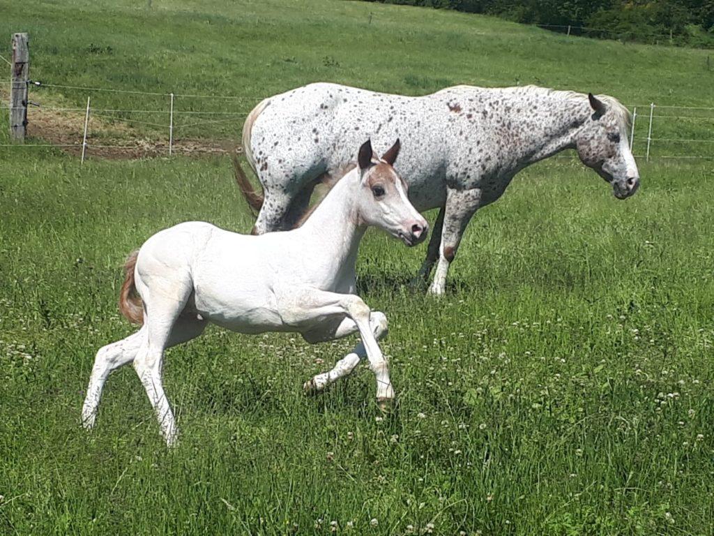 elevage poney des amériques en haute loire