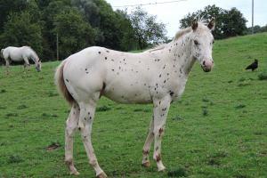 poa elevage chevaux en france