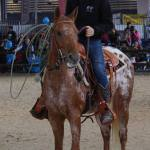 elevage chevaux equitation western en haute loire