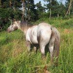 etalon poneys des amériques pour reproduction en france
