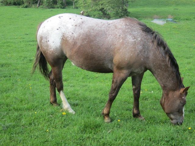pouliniere Poney des Amériques élevage francais de POA en haute loire