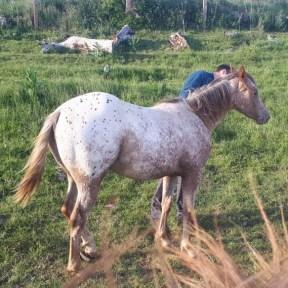 poulain poneys des amériques en haute loire