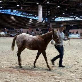 poulain à vendre pour équitation western en haute loire